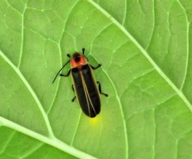 10Facts-Fireflies